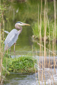 Blue Heron fishing in Bob Creek