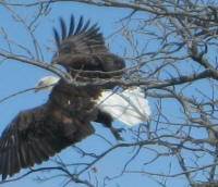 Eagles on Knollwood Beach taken by Roger Greenley on April 17th